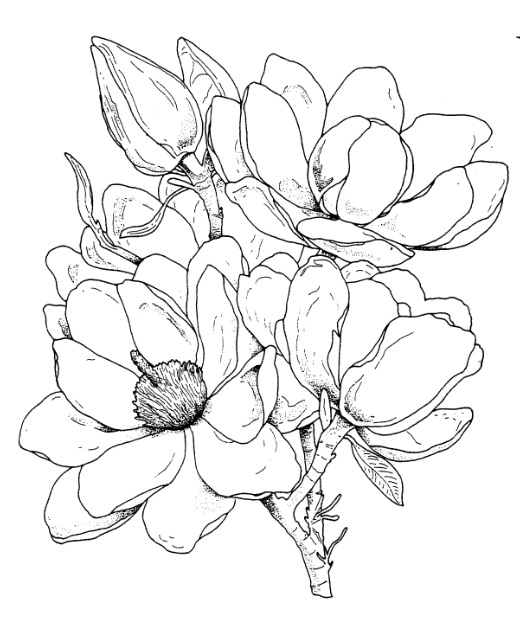Magnolia Flower Line Drawing : Images about dräwning on pinterest watercolors