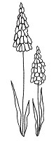 Magenta - Cling Rubber Stamp - Stylized Muscari