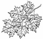 Northwoods Rubber Stamp -Maple Cluster