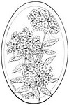 Northwoods Rubber Stamp Phlox in Oval