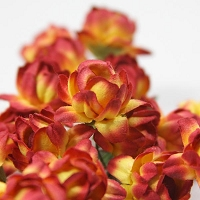 Prima Roses - Special Purchase - 3/4