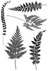 Woodware Craft - Clear Stamp - Ferns