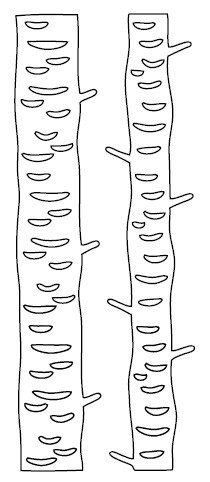 Savvy Stamps - Die - Tall Birch Trees